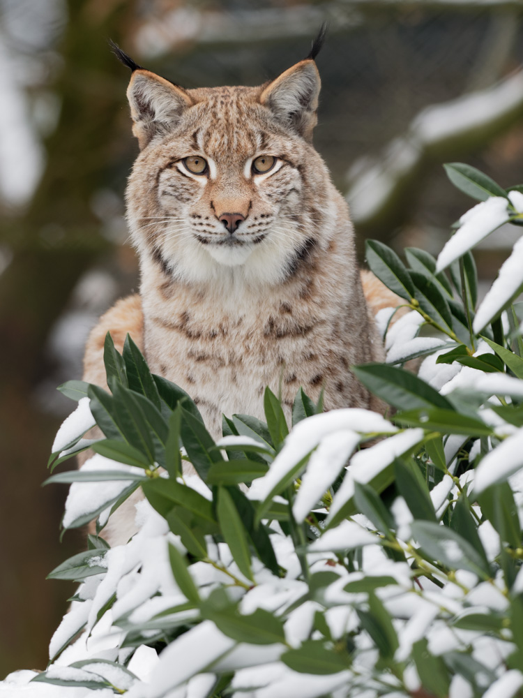 eye to eye - eurasian lynx