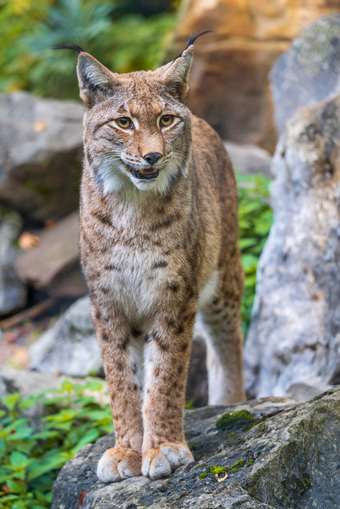 Eurasian lynx at Tierpark Olderdissen (Bielefeld, Germany)