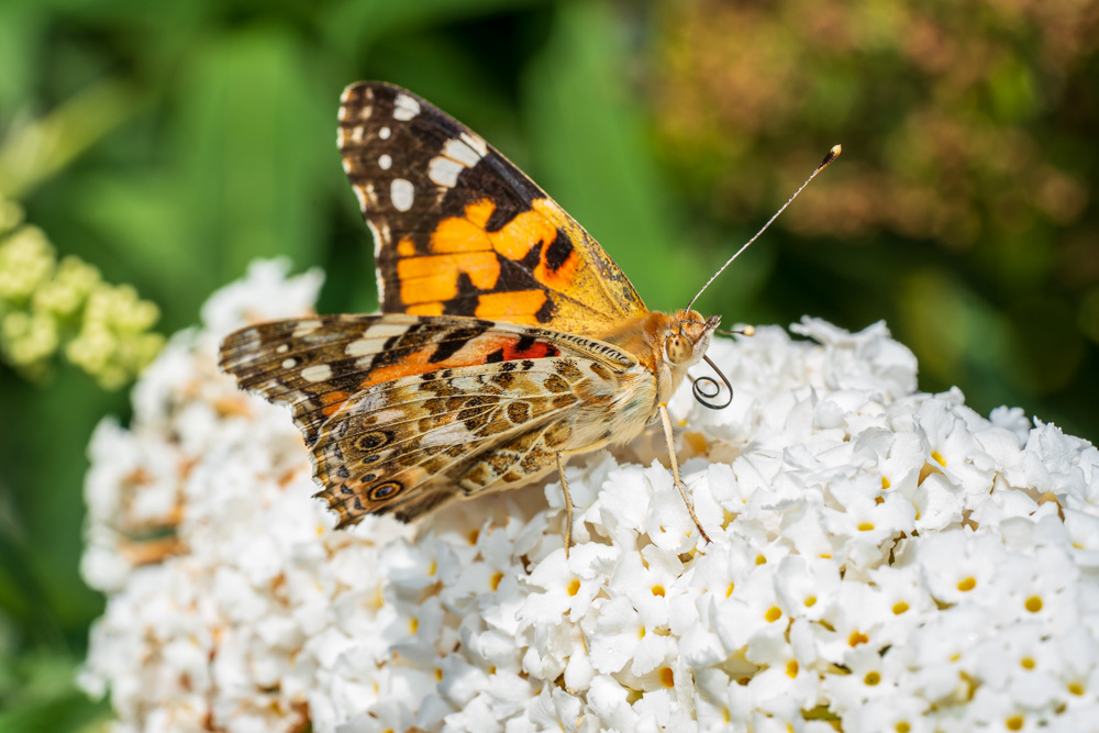 Butterfly - Painted lady (Cynthia cardiu)