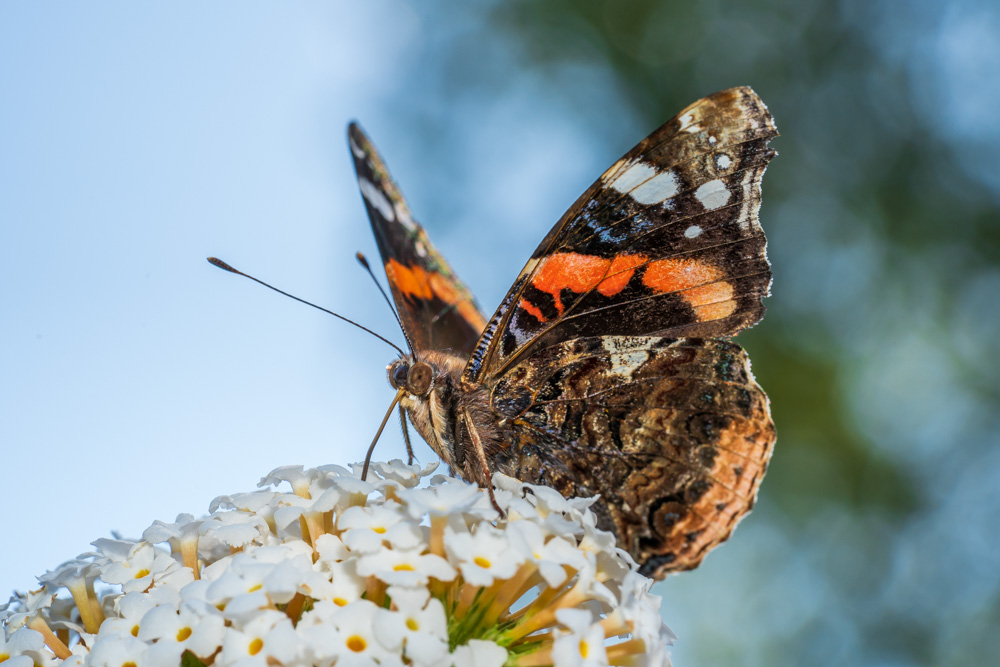 Butterfly - Red admiral (Vanessa atalanta)