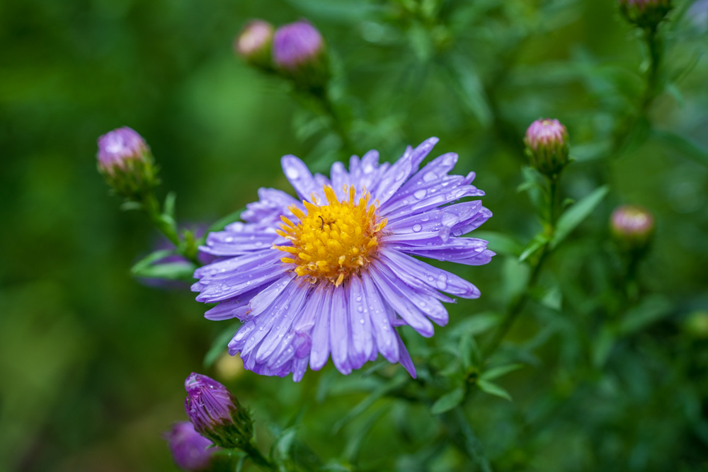 Asters in the rain - Botanical Garden Bielefeld