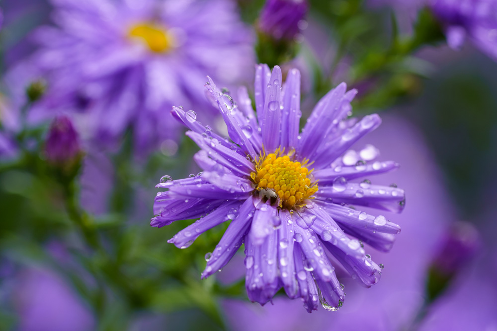 Asters in the rain - Botanical Garde Bielefeld