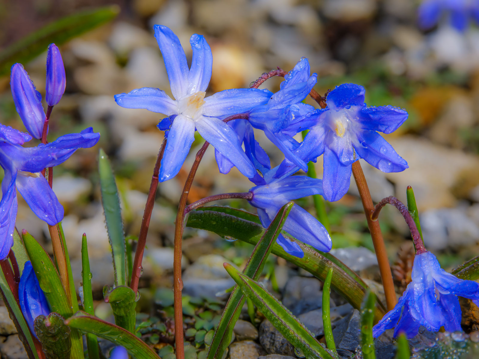 Little blue star known as Glory-of-the-sun (Chionodoxa).
