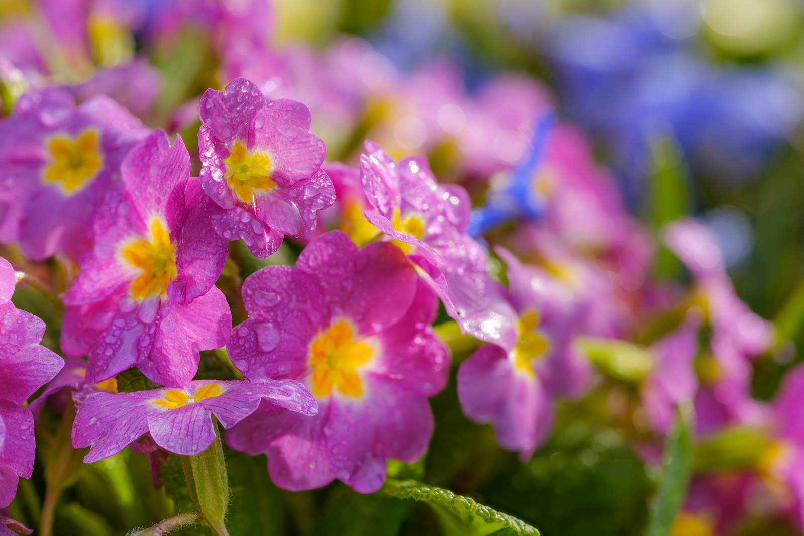 Pink primrose with morning dew (Primula).