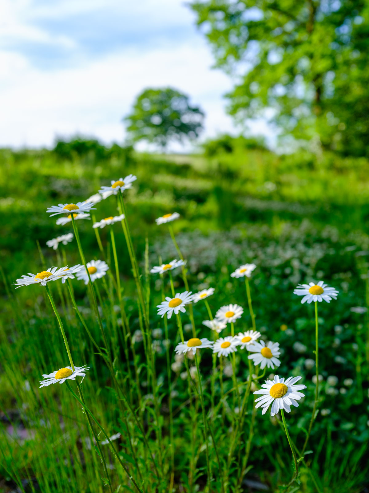 Ox-eye daisies (Leucanthemum vulgare) in a field near Bielefeld-Theesen (Germany).